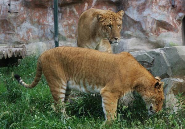 Ligre #ExpertoAnimal #MundoAnimal #ReinoAnimal #Animales #Naturaleza #AnimalesExóticos #AnimalesRaros #Ligre