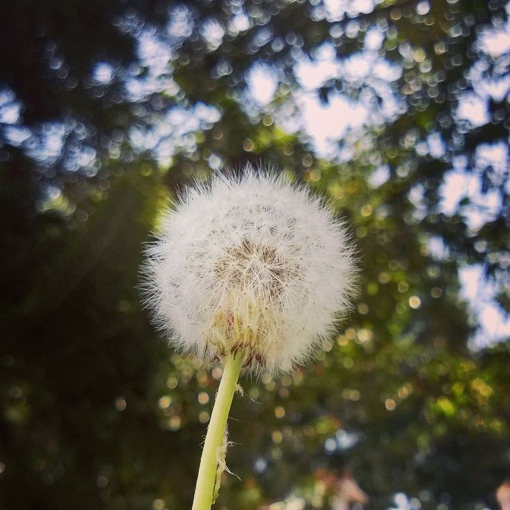 """The Dandelion"" - Photos taken with Nokia Lumia 920 using Instagram app"