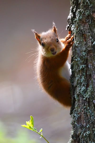 how to get rid of red squirrels in your walls