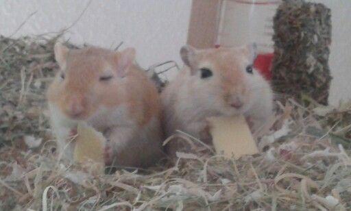 Happy gerbils eating cheese