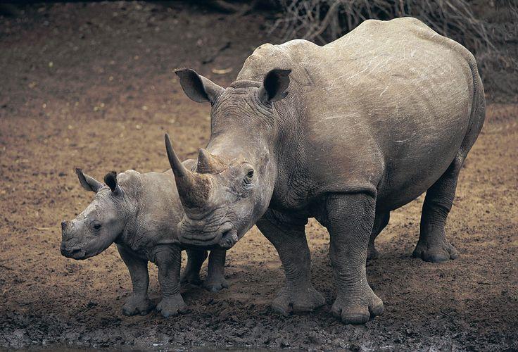 White Rhinoceros Animals | Posted by Amit Bhawani on Oct.18, 2011, under Info