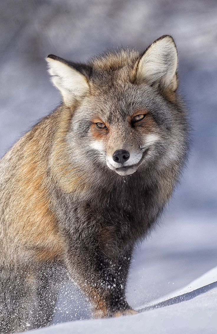False coloring in animals - Beautiful Wildlife The Cross By Sue Ernisse A Young Cross Fox On The