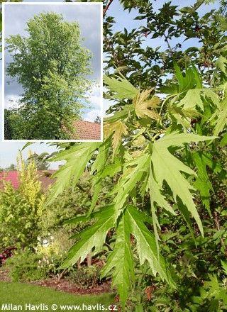 Acer saccharinum f.laciniatum