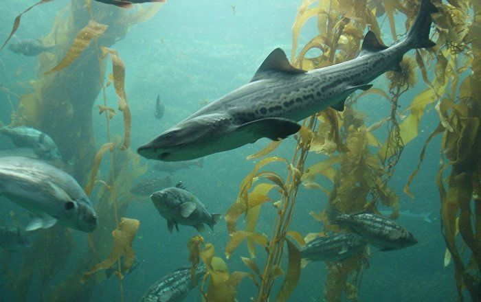 The mysterious death of more than 1,000 leopard sharks in San Francisco Bay was caused by brain-eating bacteria, scientists have revealed.