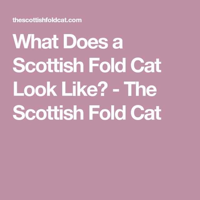 What Does a Scottish Fold Cat Look Like? - The Scottish Fold Cat