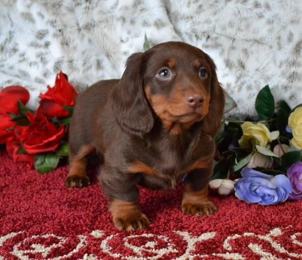 Mini Dachshund Puppies For Sale Black Tan Doxie Breeder Short Hair Pups Dachshund Puppy Miniature Dachshund Breed Dachshund Puppy Funny