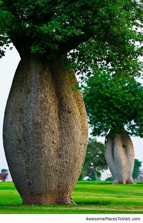 Toborochi Tree, LEGEND. Bolivia