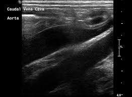 Výsledek obrázku pro canine adrenal gland ultrasound
