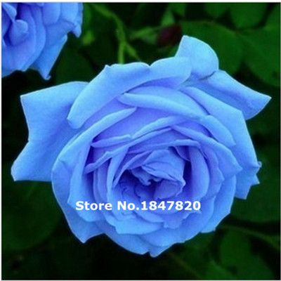 829 best bonsai images on pinterest flower seeds for for Buy rainbow rose seeds