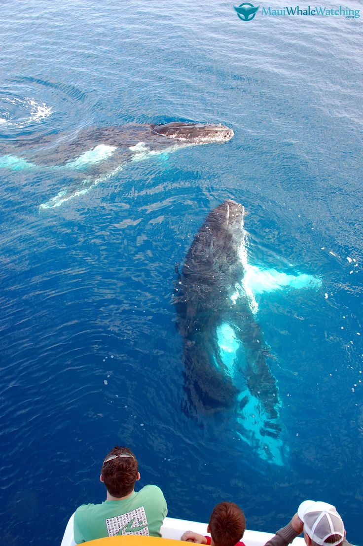 Maui Whale Watching. So amazing! Check out this new guide: http://mauiwhalewatching.com/