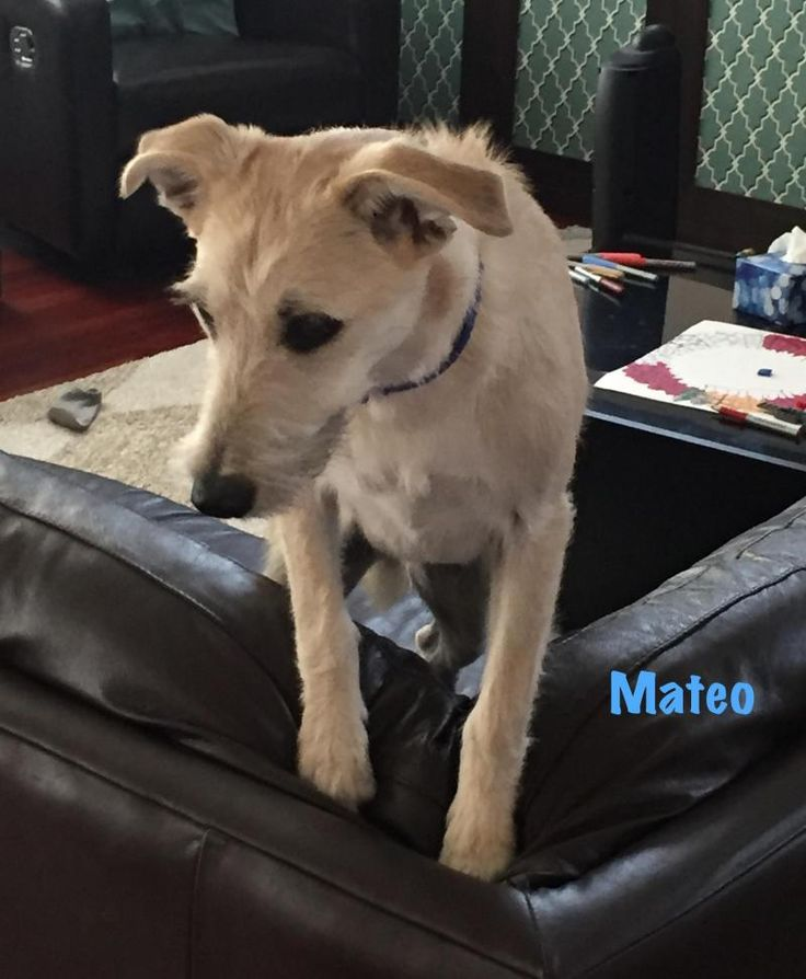 Mateo is an adoptable Schnauzer searching for a forever family near Calgary, AB. Use Petfinder to find adoptable pets in your area.