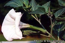 Family :Solanaceae  Genus :Datura  Species :ceratocaula; inoxia; metel; stramonium