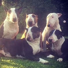 English Bully herd temporarily be having!
