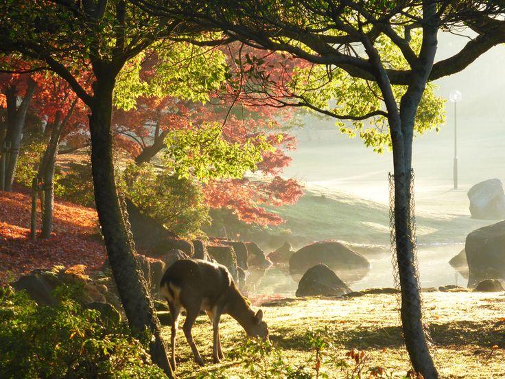 Nara deer, Nov 2014