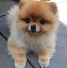 This sweet little Pomeranian face looks JUST like the baby!