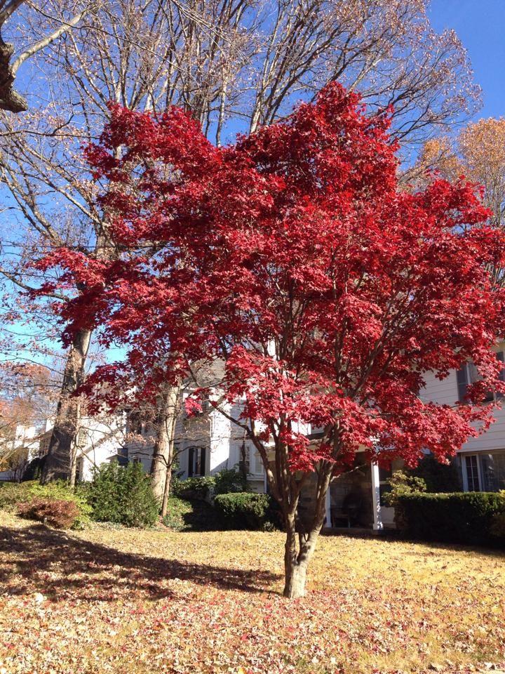 Arbol con hojas color vino.