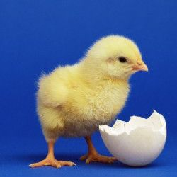 Spring is almost here - it's time to plan where to buy your baby chicks! March through May is the best time to start your chicks. The winter cold...