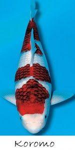 Live Koi Fish for Sale in Cebu , Goldfish for Sale in Cebu: KOROMO
