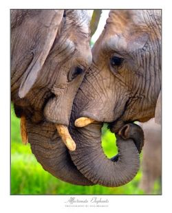 Elephants are astonishing creatures- deeply affectionate, highly intelligent, etc.