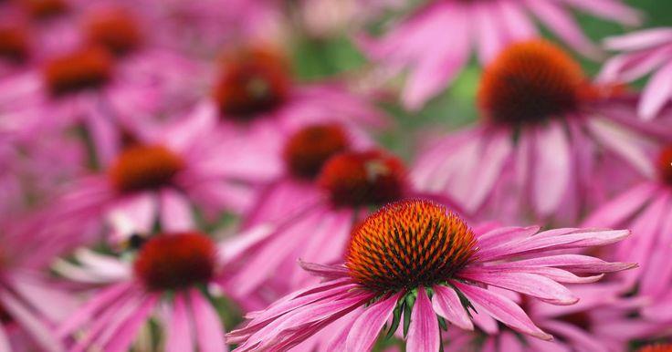 110 best stauden images on pinterest plants flowers and. Black Bedroom Furniture Sets. Home Design Ideas