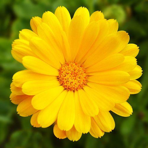 Marigold 3 by Pete Biggs, via Flickr