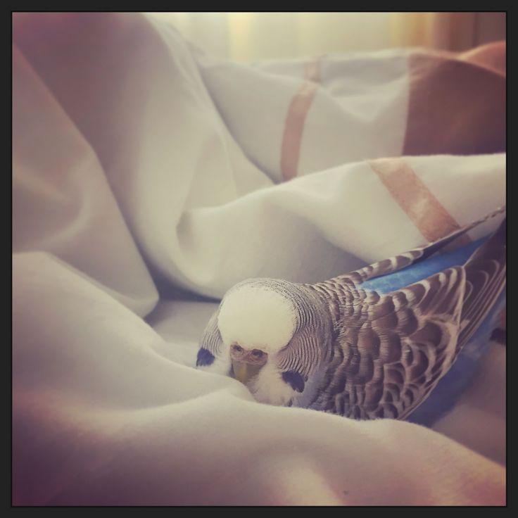 Lazy weekends #caesarthediva #budgie #parakeet