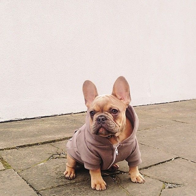 @roux_frenchbulldog's prepped for cool weather in the Pewter Flex Fleece Dog Hoodie! #AmericanApparel