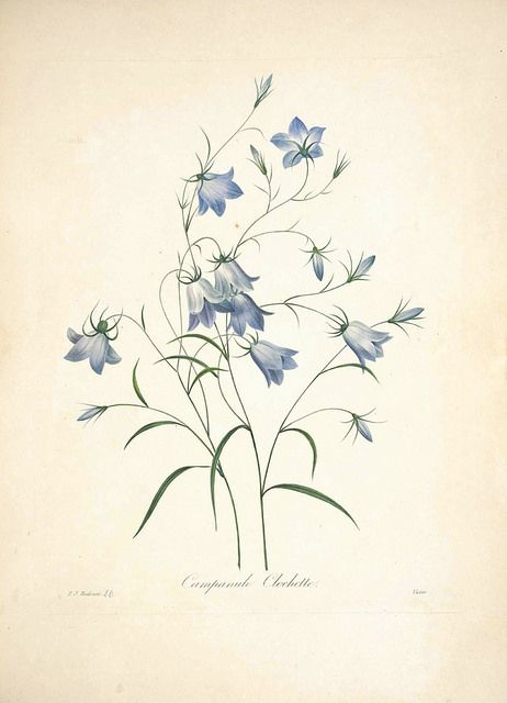 Blue Bells, harebell. Campanula rotundifolia. Choix des plus belles Find fleurs -et des plus beaux fruits par P.J. Redouté. (1833) | by Swallowtail Garden Seeds