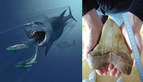 tiburon megalodon(giant prehistoric shark)and tooth