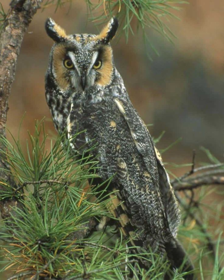 Long-eared Owl | Audubon Field Guide                                                                                                                                                                                 Mais