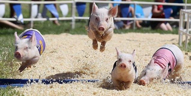 pig racing county fair! Too cute look at them go