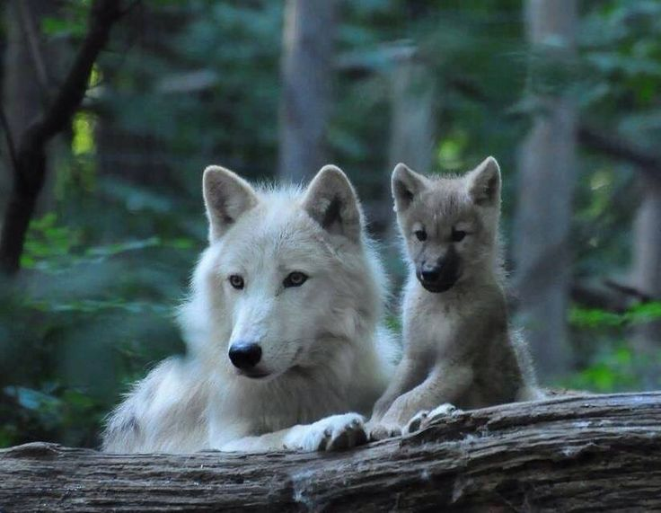 Momma and baby wolf