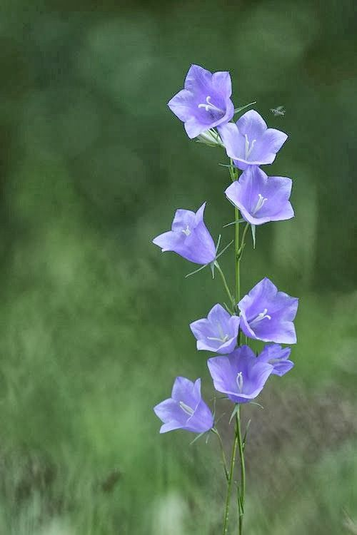 """Campanula  ✮✮Feel free to share on Pinterest"""" ♥ღ www.MYVICTORIANANTIQUES.com"""