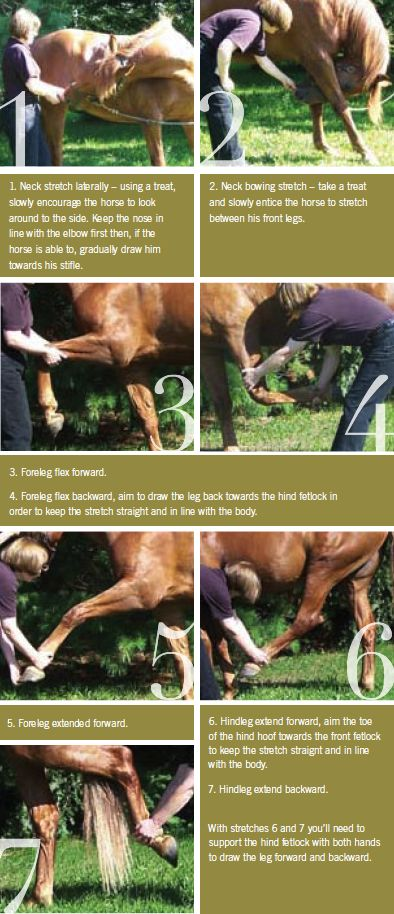 Warm up and cool down techniques for horses to help minimize injury - Equine Wellness Magazine