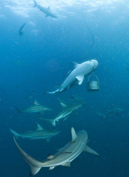 Les Safaris P)longee avec Requins