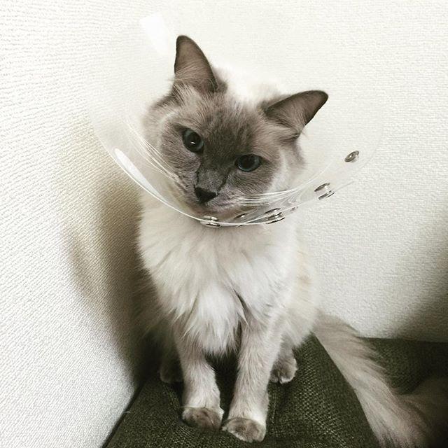 またグルーミングのしすぎで怪我しちゃったから病院行ったよ原因不明だから、まだまだしばらくカラー生活食べ物のアレルギーかもだって #birman #cat #neko #cute #バーマン #ねこ #ネコ #猫 #followme #love #instagood #birmancat #catstagram #cats_of_instagram #instacat #cats #catofinstagram  #cutecat #nekostagram#ふわふわ#もふもふ#tbt#photooftheday#instafollow#catlover#catlovers#ilovecats#にゃんだふるらいふpass_03132016/02/10 09:16:38