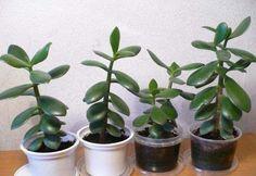 """Určitě jste se již alespoň jednou v životě sešli s touto rostlinou, které se někdy říká """"strom peněz"""". Nazvali ji tak lidé, protože její listy připomínají tloušťku kulatých minci. Obsahují velké množství šťávy. O jejich vlastnostech ví jen málokdo. Řeknu vám, jak si z pokojové rostliny uděláte skute"""