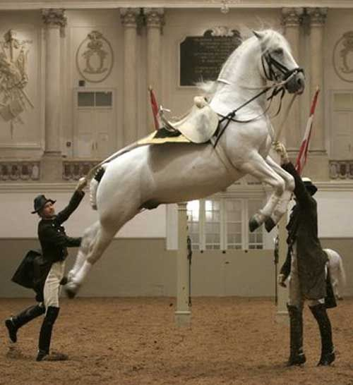 Next April I'm going on a trip to Europe and stopping in Vienna...can't wait! I absolutely have to see the Lippizaner Stallions perform.
