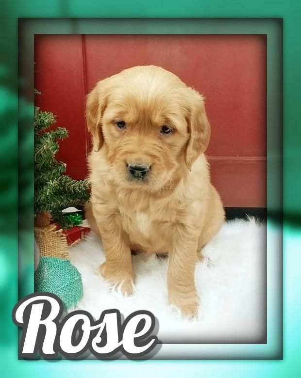 Chunky Golden Retriever Puppies For Sale Golden Retriever