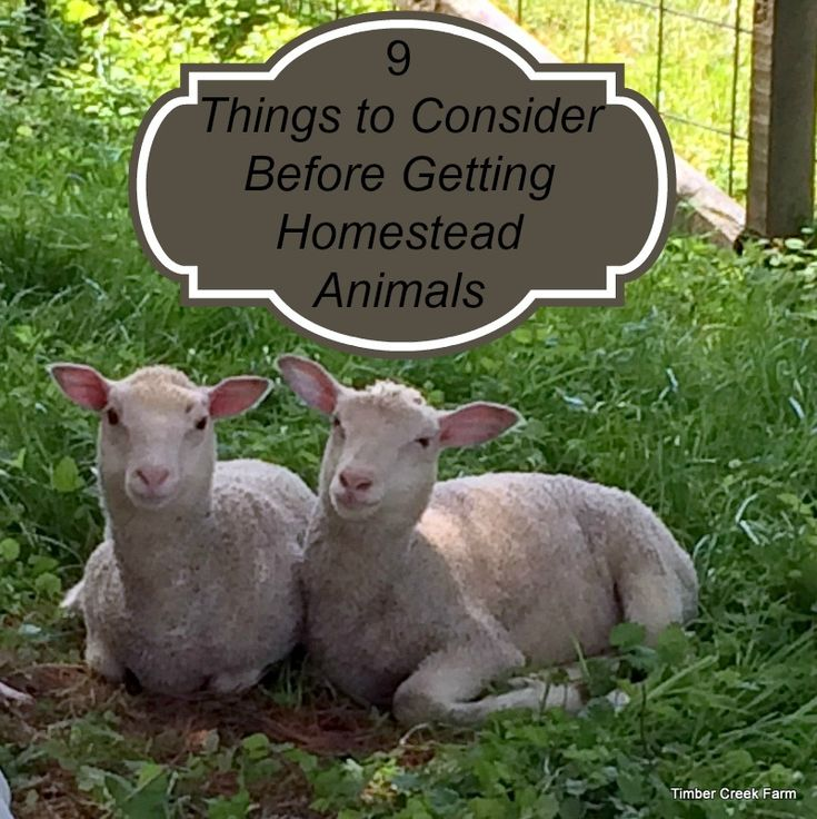 Before Getting Homestead Animals consider this list of nine factors to consider. Animals need more than our undying love and we should be ready to provide