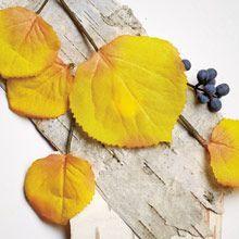 Kultainen koivu Patsulin ja seetripuun maanläheinen makeus kerrostuu pehmeiden mausteiden ja kultaisen vaniljasokerin kanssa houkuttelevaksi lämmöksi.