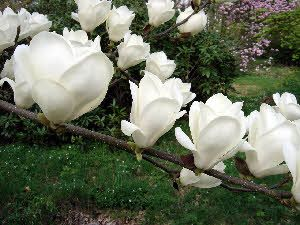 Magnolia x soulangeana 'Lennei Alba' - just put this in my garden - can't wait to see how it does!