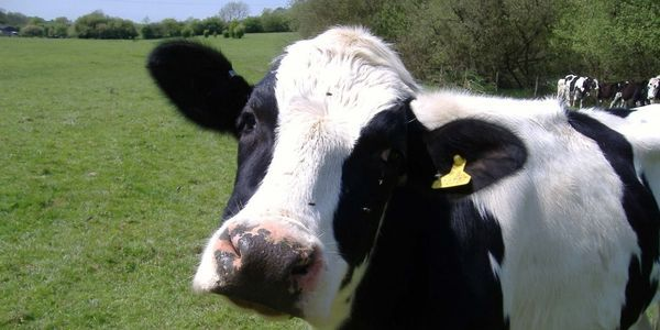 petition: Demand A Stop To Baby Calf Killing!
