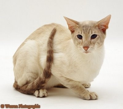 Siamese - Named for Siam, this popular breed is ... Oriental Cat Lifespan