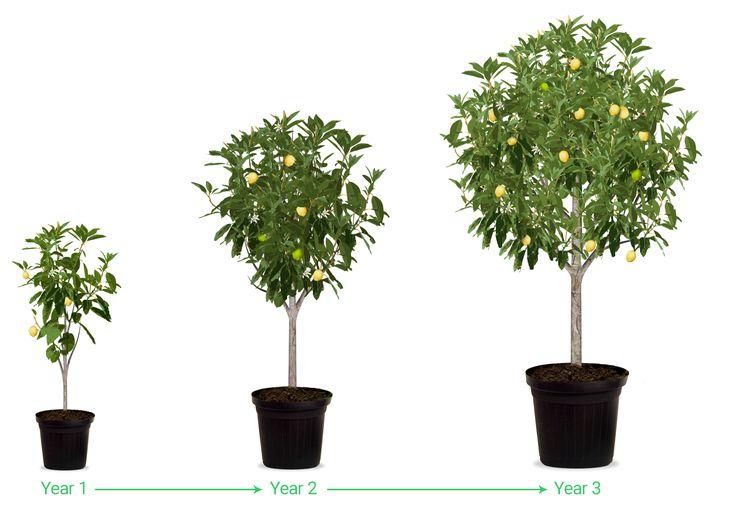 25 beautiful Avocado tree size ideas on Pinterest Growing