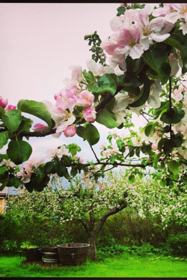 Maj - Äppelträden blommar