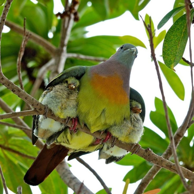 Safe under mom's wings.: Mothers Love, Mothersday, Mothers Day,  Turdus Migratorius, Wings, Baby, Birds,  American Robins, Animal