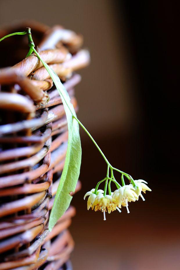 L'eleganza del tiglio - GranoSalis - Blog di cucina naturale e consapevole ed erbe selvatiche