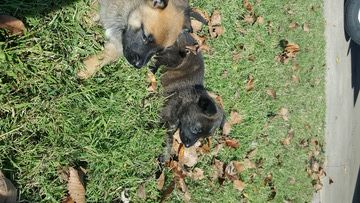 Litter of 9 Belgian Malinois-Dutch Shepherd Dog Mix puppies for sale in GROVE, OK. ADN-48095 on PuppyFinder.com Gender: Male(s) and Female(s). Age: 4 Weeks Old