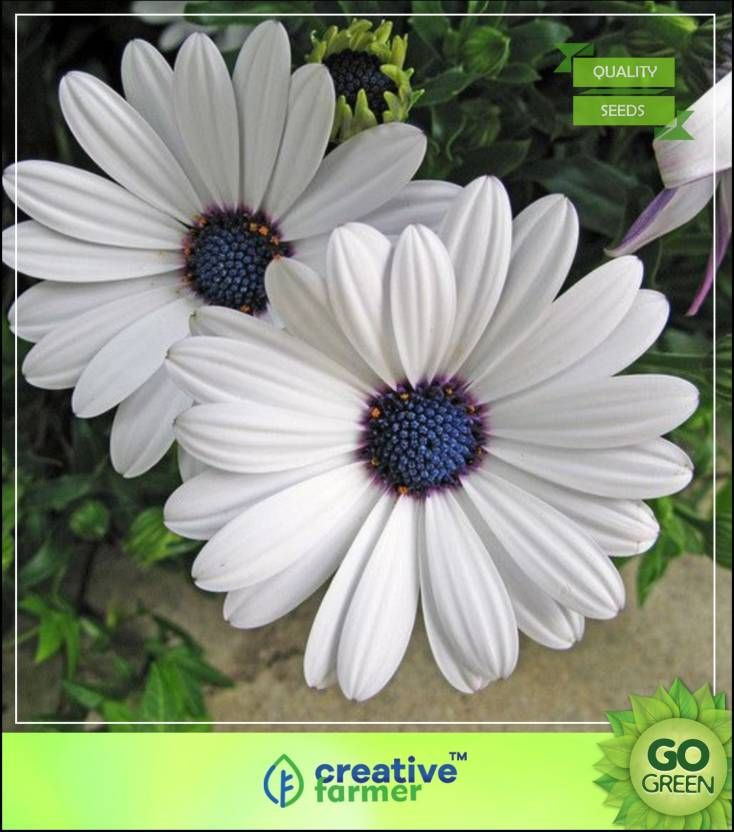 Gerbera Flower Seeds Online India Flower Seeds Online Gerbera Flower